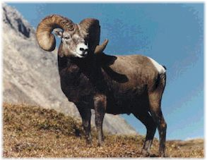 Mountain Ram - The mountains skipped like rams... - Psalms 114